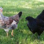Sommerhühner